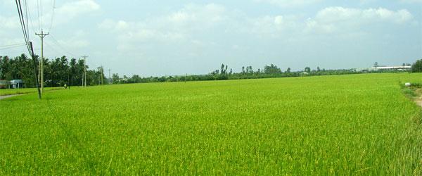 Reisfeld im Mekongdelta Vietnam